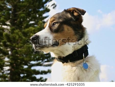 Adorable closeup of a German / Australian shepherd mixed dog while outside.  - stock photo