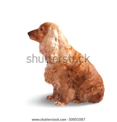 adorable cocker spaniel isolated over white background