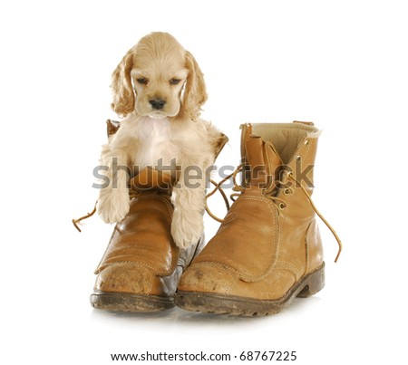 adorable cocker spaniel puppy sitting in pair of old workboots - stock photo