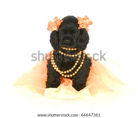 adorable cocker spaniel puppy wearing orange girl clothing on white background - stock photo