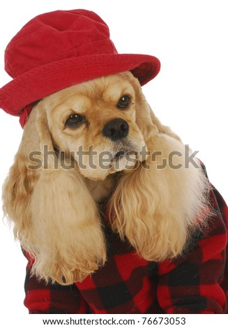 adorable cocker spaniel wearing red hat and coat on white background - stock photo