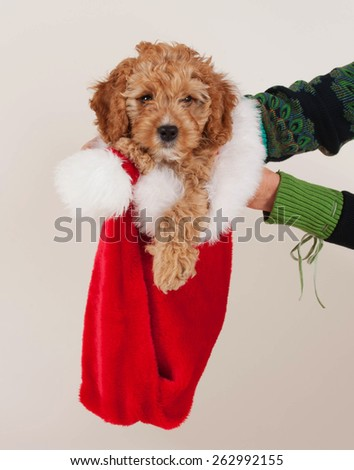 Adorable Cockerpoo puppy. It is a mixed dog breed between Cocker Spaniel and Poodle. The little pet is eight weeks of age. The little puppy is sitting is a Christmas cap. - stock photo