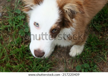 Adorable collie dog with a brown patch and soulful eyes. - stock photo