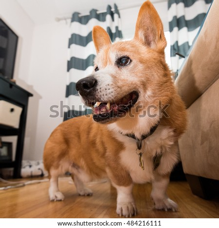 Adorable Corgi Looking Left