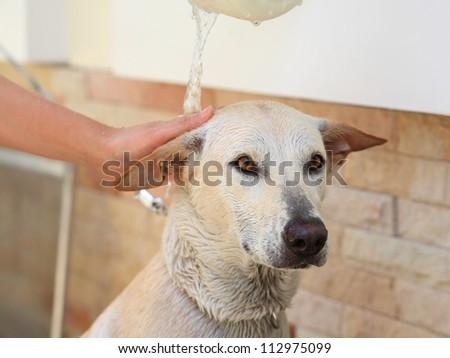 Adorable creamy dog taking a baht - stock photo