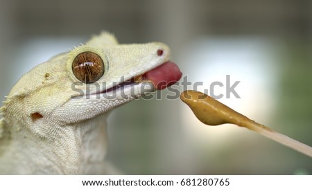 Adorable Crested Gecko Happily Eating