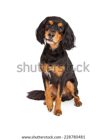 Adorable curious Gordon Setter Mix Breed Dog sitting. - stock photo