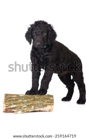 adorable curly coated retriever puppy standing - stock photo