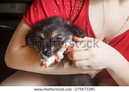 Adorable cute black puppy dog sitting in female hands and gnawing a toy. - stock photo