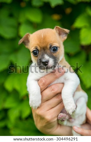 adorable cute chihuahua puppy in a hand with green leaf background - stock photo