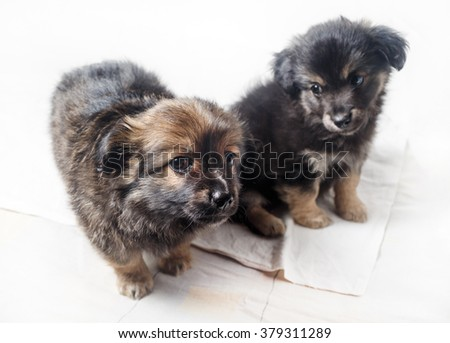 Adorable cute little puppies against a white sheet background. Two puppies dogs. Selective focus. - stock photo