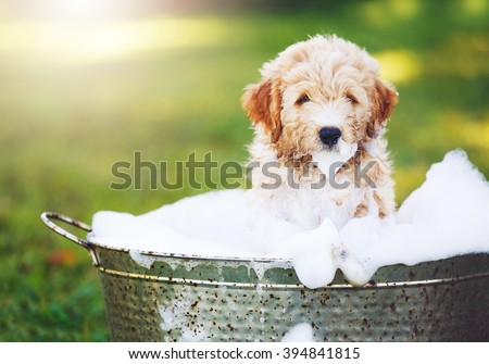 Adorable Cute Pupppy. Goldern Retriever Puppy taking a Bubble Bath - stock photo