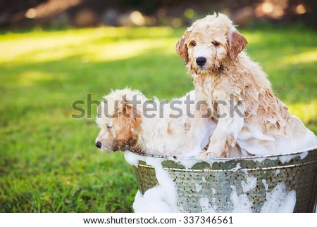 Adorable Cute Young Puppies Outside in the Yard Taking a Bath Covered in Soapy Bubbles - stock photo