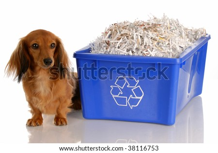 adorable dachshund sitting beside blue recycle bin - stock photo