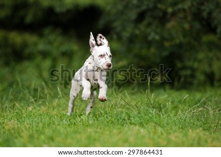 adorable dalmatian puppy running on grass