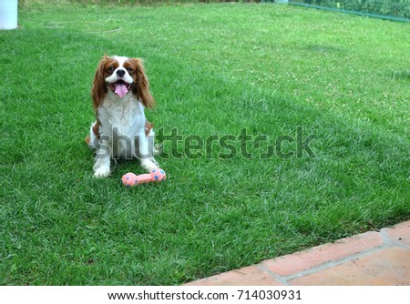 Most Inspiring Cavalier Canine Adorable Dog - stock-photo-adorable-dog-cavalier-king-charles-spaniel-cheerfully-waiting-with-its-toy-on-a-garden-lawn-714030931  Gallery_201417  .jpg
