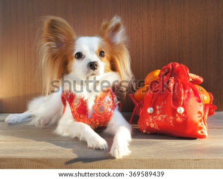 "Adorable dog in Chinese Traditional Red Dress ""Qipao"", made from silk, isolated on wooden background, with soft sunlights, selective focus, Continental Toy Spaniel Papillon Pure Breed  - stock photo"