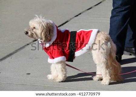 Adorable Dog in Santa Claus Costume - stock photo