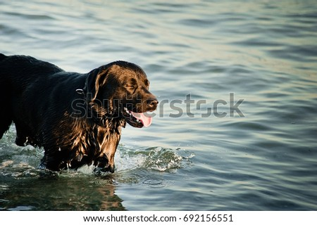 Most Inspiring Labrador Black Adorable Dog - stock-photo-adorable-dog-swimming-in-the-sea-water-big-black-dog-is-bathed-in-the-water-labrador-golden-692156551  Snapshot_696747  .jpg