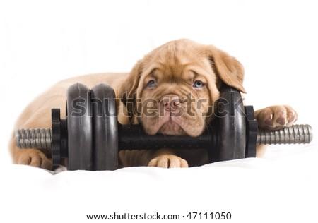 adorable dogue de bordeaux puppy with dumbbell - stock photo