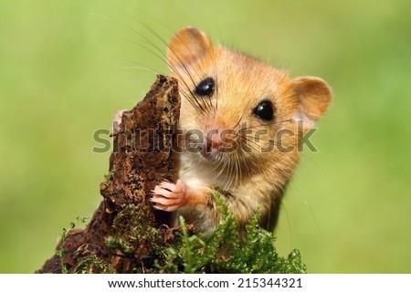 Adorable dormouse - stock photo