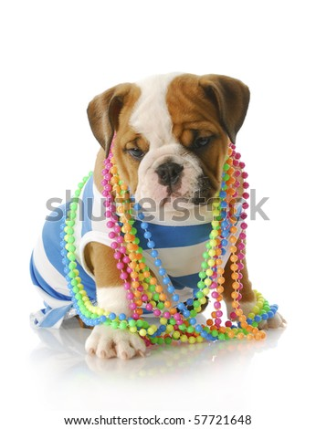 adorable eight week old english bulldog puppy wearing blue and white shirt with colorful jewelery with reflection on white background - stock photo
