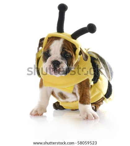 adorable eight week old english bulldog puppy wearing bumble bee costume with reflection on white background - stock photo