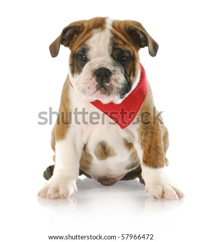 adorable eight week old english bulldog puppy wearing red bandanna with reflection on white background - stock photo