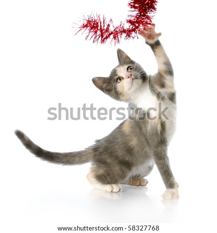 adorable eight week old kitten playing with red christmas garland with reflection on white background - stock photo