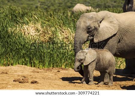 Adorable elephant calf - stock photo