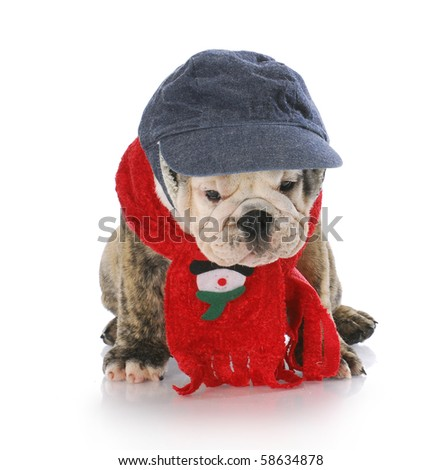 adorable english bulldog dressed up for winter with christmas scarf with reflection on white background - stock photo