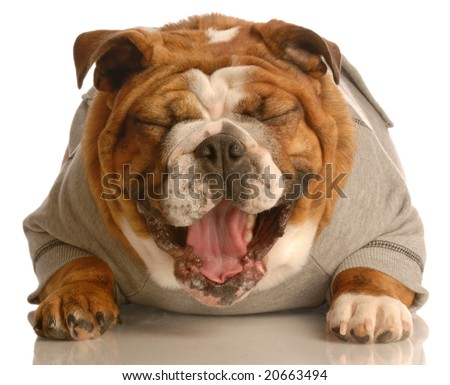 adorable english bulldog laying down with mouth opening laughing - stock photo