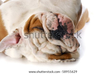 adorable english bulldog laying on back sleeping with reflection on white background - stock photo