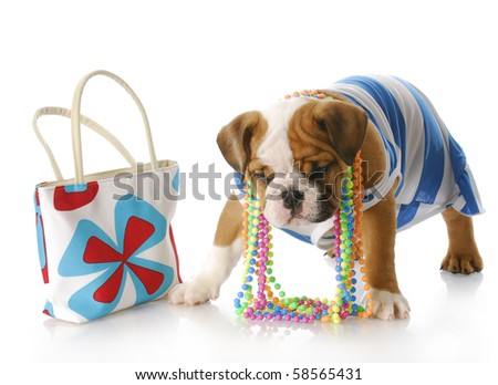 adorable english bulldog puppy dressed up standing beside purse with reflection on white background - stock photo