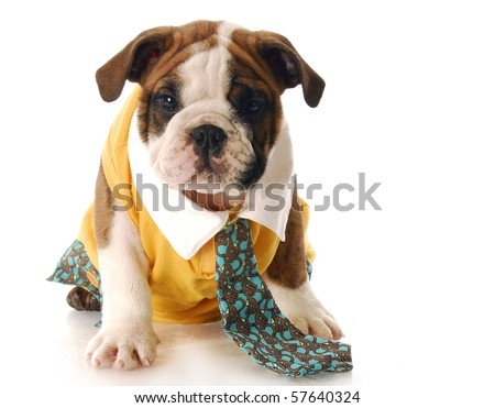 adorable English bulldog puppy dressed up wearing shirt and tie with reflection on white background