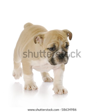adorable english bulldog puppy walking with reflection on white background - stock photo