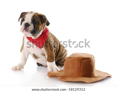 adorable english bulldog puppy wearing red bandanna sitting beside cowboy hat with reflection on white background - stock photo