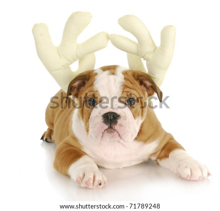 adorable english bulldog puppy wearing reindeer antlers on white background - stock photo
