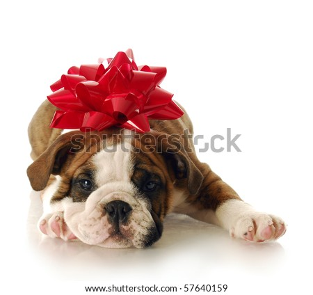 adorable English bulldog puppy with red bow on his head with reflection on white background - stock photo
