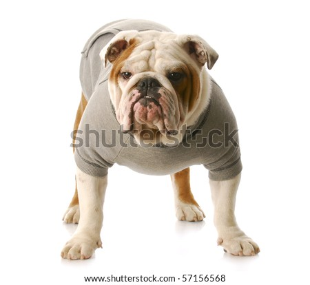adorable english bulldog standing wearing grey sweatshirt isolated on white background - stock photo