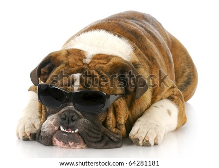 adorable english bulldog wearing dark sunglasses with crooked teeth on white background - stock photo
