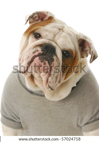 adorable english bulldog wearing grey sweatshirt isolated on white background - stock photo