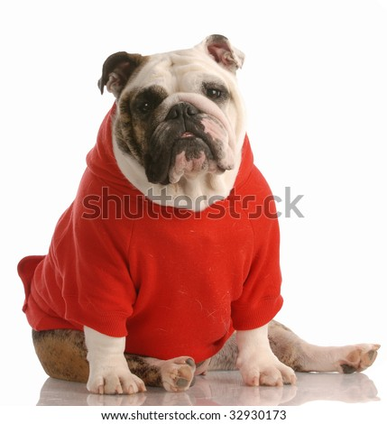 adorable english bulldog wearing red sweater on white background - stock photo