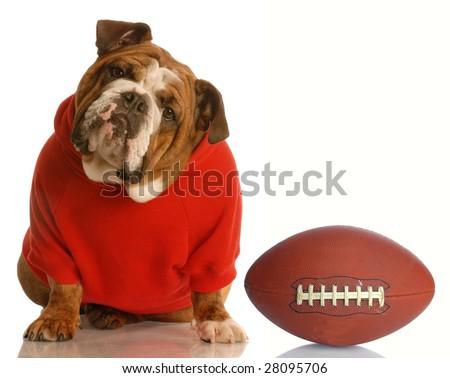 adorable english bulldog wearing sweatsuit with football isolated on white background - stock photo
