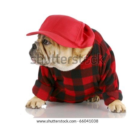 adorable english bulldog wearing trucker hat and plaid shirt with reflection on white background