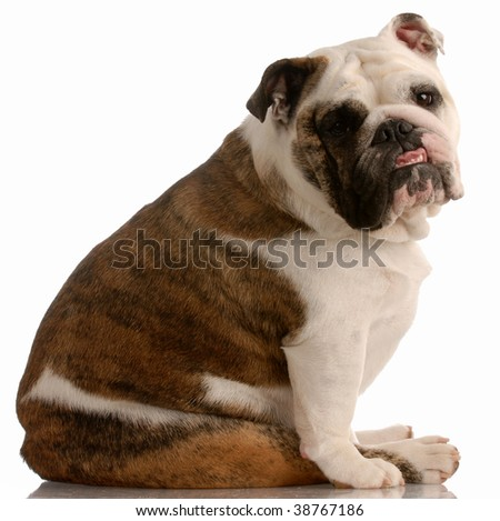 adorable english bulldog with cute expression on white background - stock photo