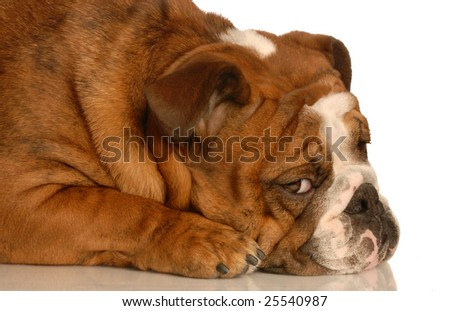 adorable english bulldog with guilty expression isolated on white background - stock photo