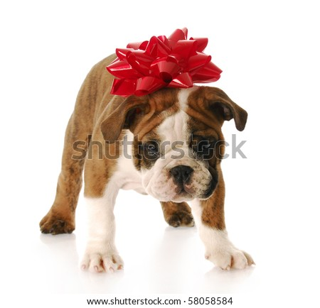 adorable english bulldog with red bow on his head standing - stock photo