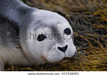 Adorable face of a baby seal up close and personal! - stock photo