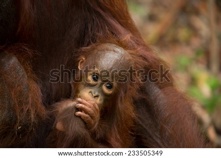 Adorable face of baby Orangutan in south Borneo Indonesia. - stock photo